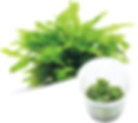 M13 Cryptocoryne wendtii 'Green'.jpg