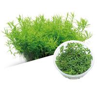 M28 Rotala rotundifolia green.jpg