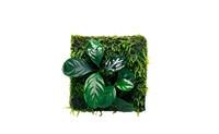 Anubias coffefolia.jpg