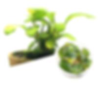 M02_Anubias_barteri_var._'Coffeefolia'.j