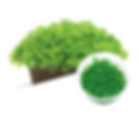B06 Micranthemum umbrosum  .jpg