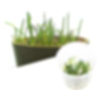 M23 Littorella uniflora.jpg
