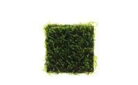 Taxiphyllum sp 'flame moss'.jpg