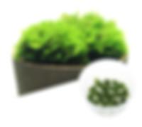 MO01 Riccardia chamedryfolia.jpg