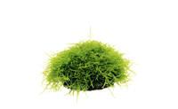 Taxiphyllum barberi.jpg