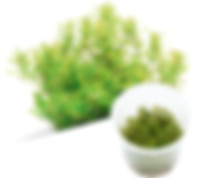 B09 Rotala macrandra 'Green'.jpg