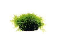 Taxiphyllum sp'peacok moss' .jpg