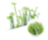 06 Hydrocotyle verticillata.jpg