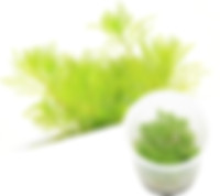 M24 Myriophyllum mattogrossense.jpg