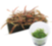 M21 Hygrophila sp. 'Araguaya Sharp leaf'