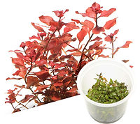 B05 Ludwigia repens 'Super red'.jpg