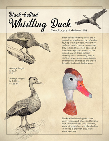 Black-bellied Whistling Duck Poster