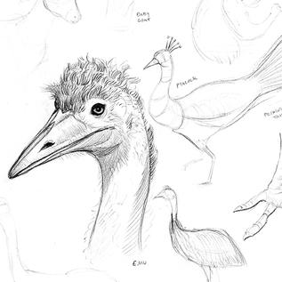 Emu and other birds