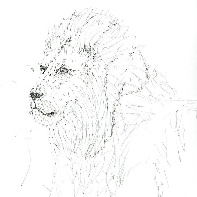 Lion roi