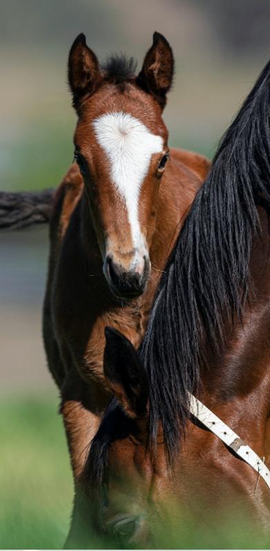 Foal.tiff