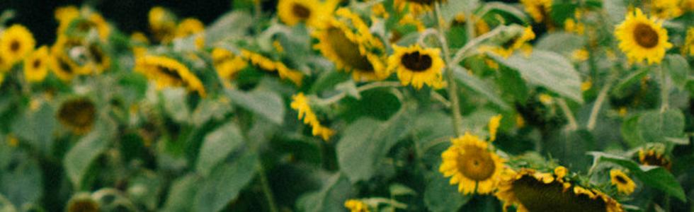 sun flower.png