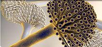 Fungiplex Aspergillus.JPG