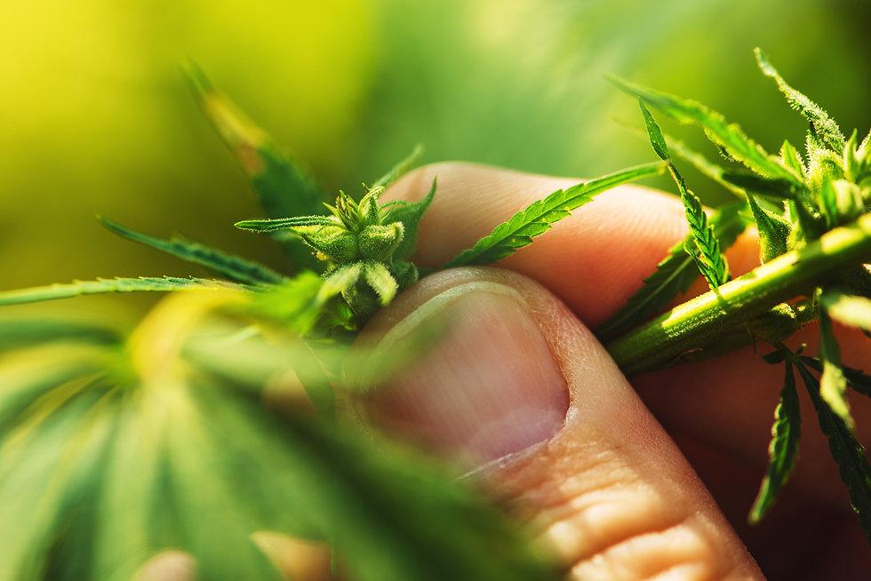 farmer-is-examining-cannabis-hemp-male-p