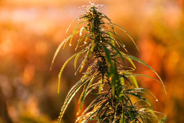 marijuana-close-up-in-the-rays-of-the-da
