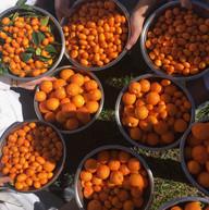 Oranges for marmalade, Napa Valley