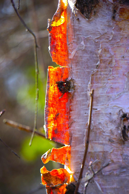 burning birch.jpeg
