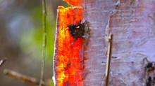 Glow of the Birch