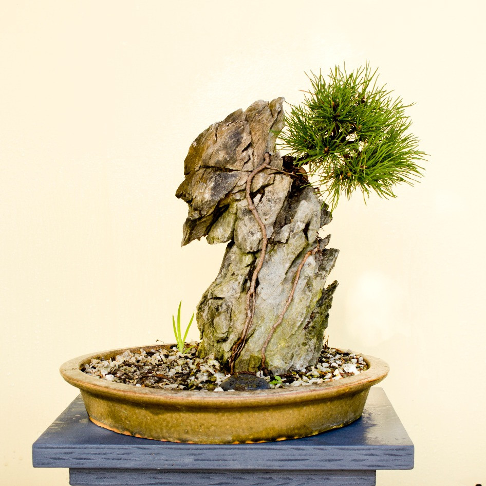Mugo pine on rock