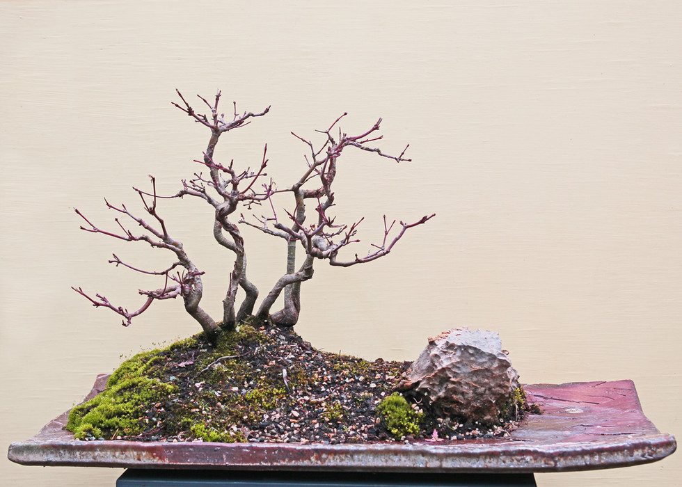 Japanese maple cluster