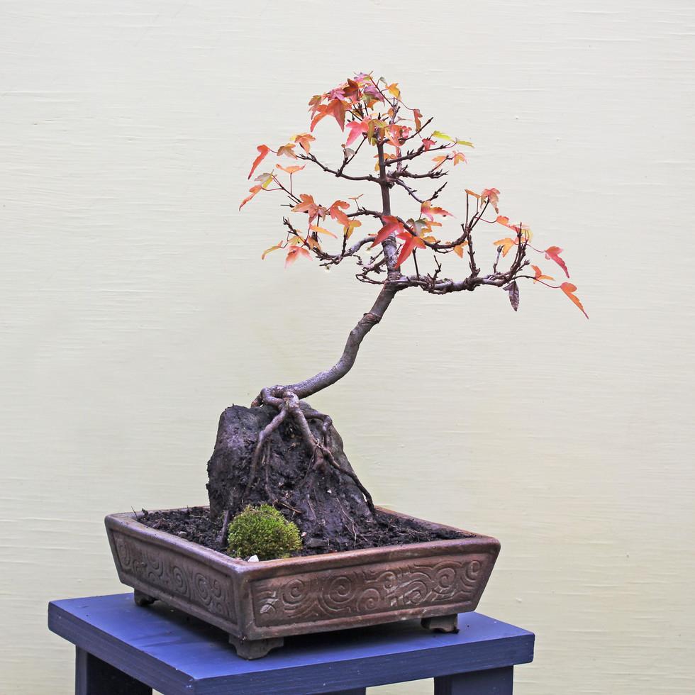 Trident maple on rock