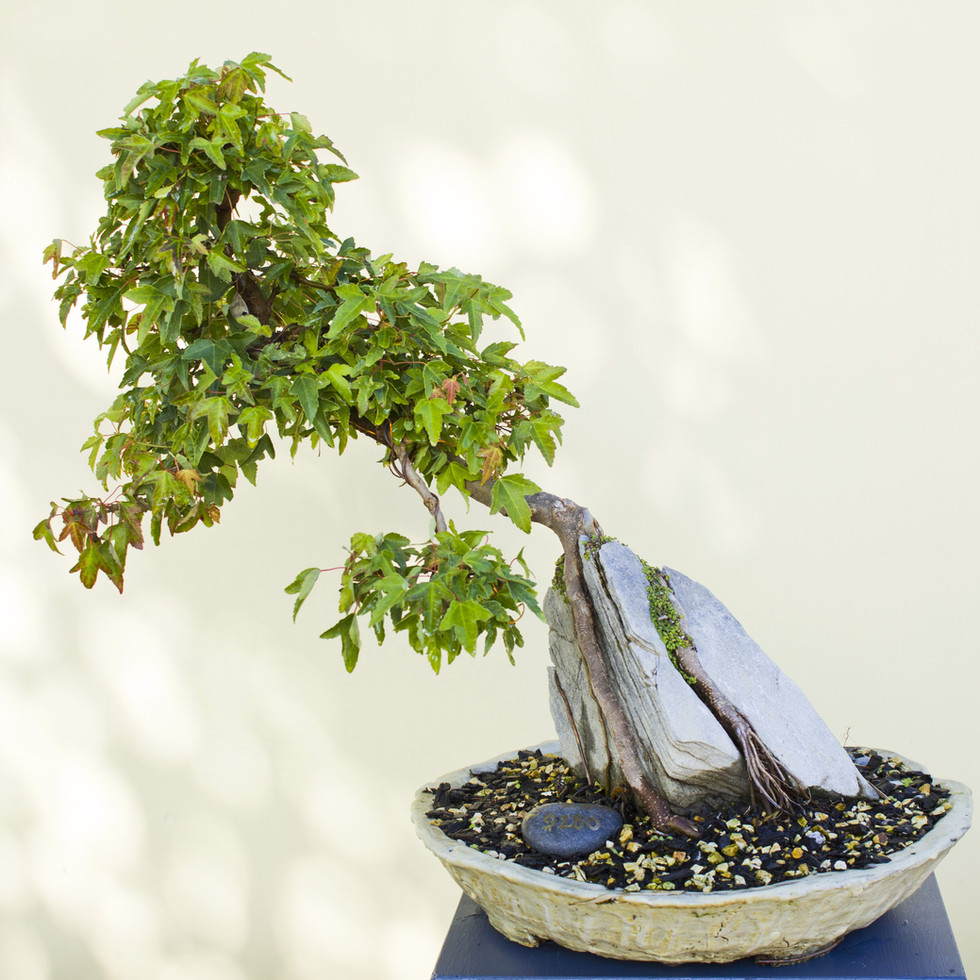 Trident maple on rock