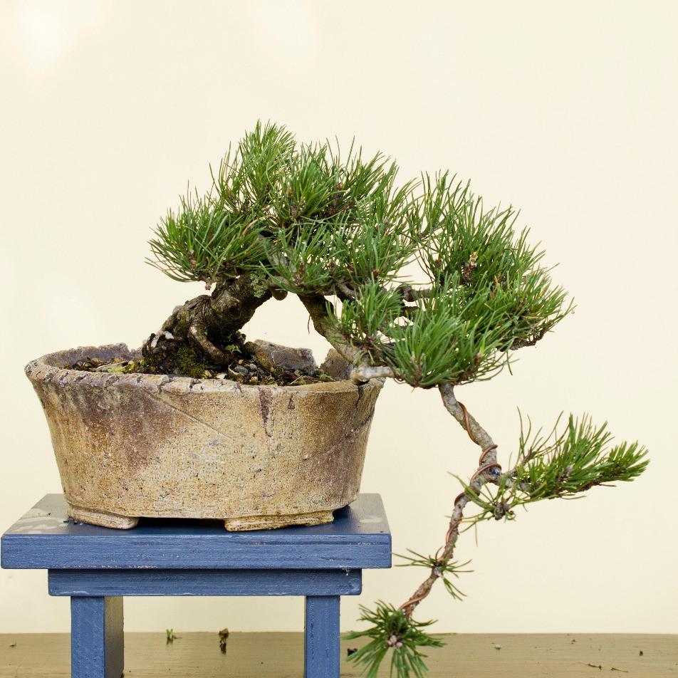 Cascade Mugo pine