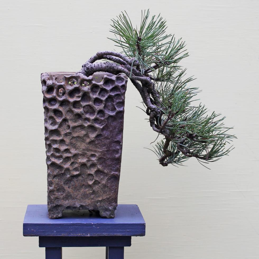 Mugo pine cascade