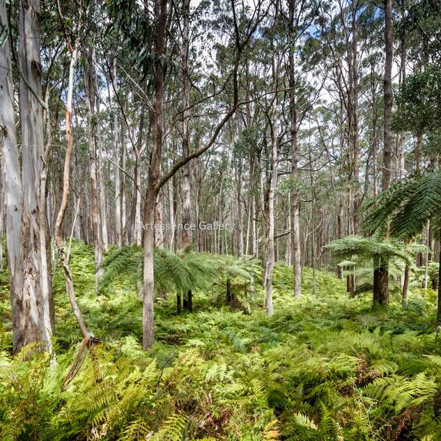 Forest Ferns Mt Darragh