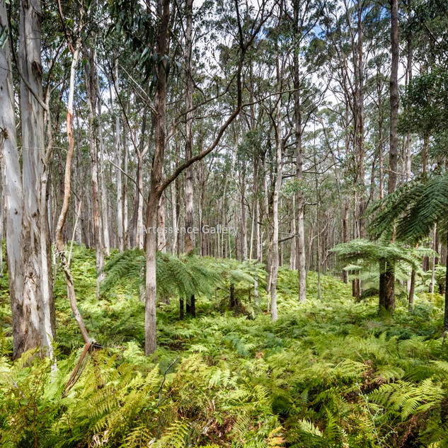 Forest Ferns Mt Darragh