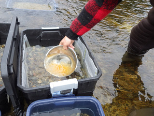 Arctic Grayling Action Plan Announced