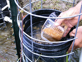 Arctic Grayling eggs shown from a Remote Site Incubator or RSI