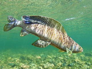 More Support for Arctic Grayling Initiative