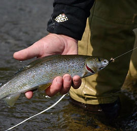 A grayling caught by an angler (then immediately released)