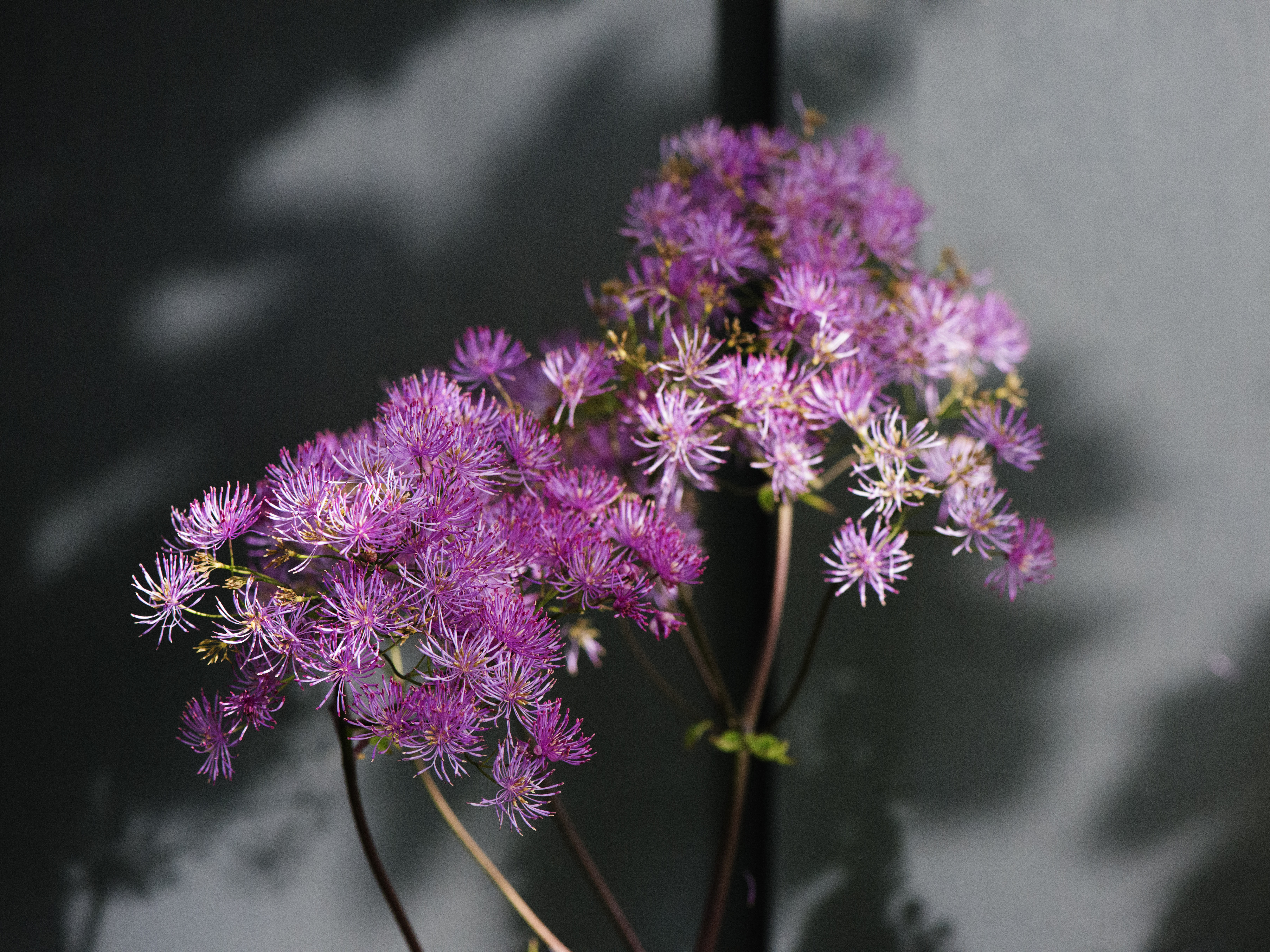 Thalictrum Detail