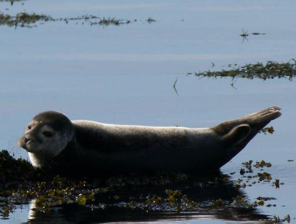 130930 Sunbathing Seal nf.JPG