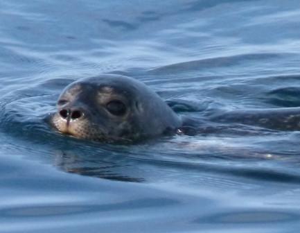 131104 Swimming Seal2 nf.jpg