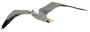 herring-gull-1519731.png
