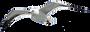 herring-gull-1519731.png