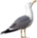 seagulls-3341213.png