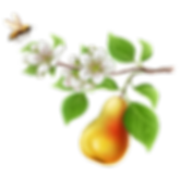 pear_illustration_nobackground (5).png