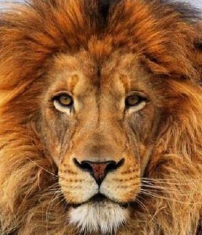 Lion980.jpg