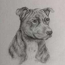 Pencil drawing of dog.