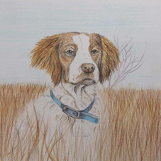 Coloured pencil drawing of dog.