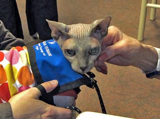 sphynx-therapy-cat-piglet-1.jpg