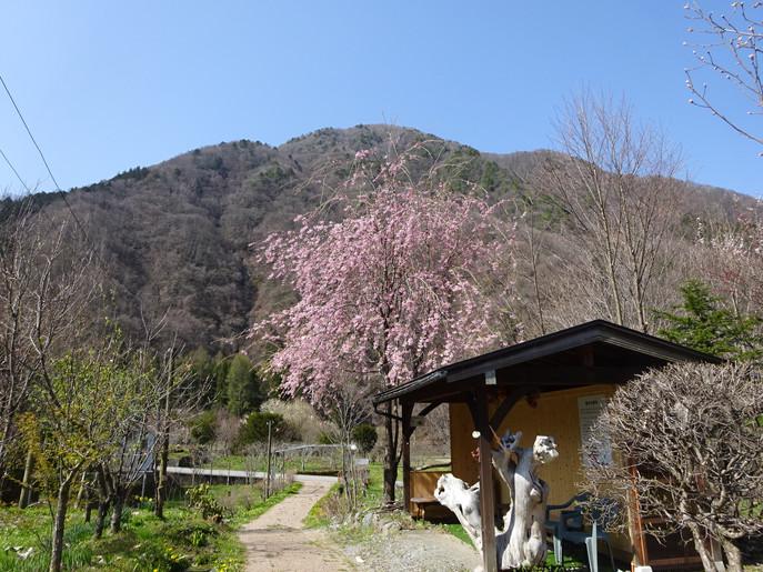 しだれ桜が満開です